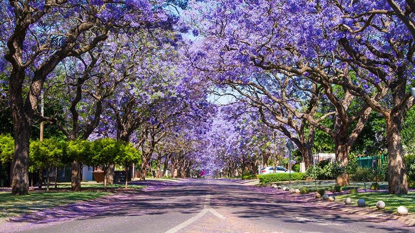 Calle de Jacarandas