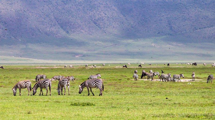 Cebras en el área de conservación de nairobi
